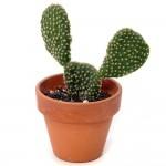 Cactus - Opuntia Consolea (Mickey Mouse)