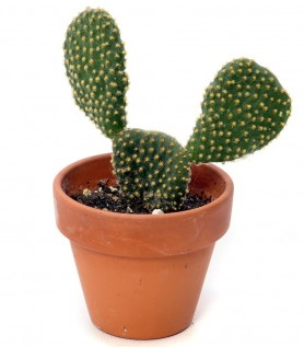 Cactus – Opuntia Consolea (Mickey Mouse)