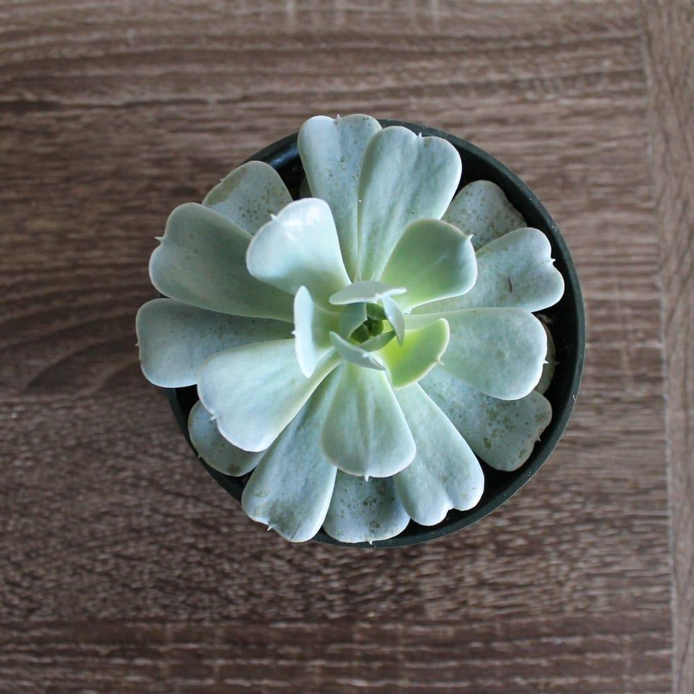 Cactus – Aéonium