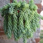 Cliquez ici pour agrandir l'image!sedum-burrito-succulente-idee-cadeau-quebec-3