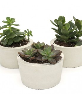 Trio de pots de béton et mini cactus