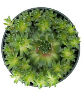 Succulente – Sempervivum