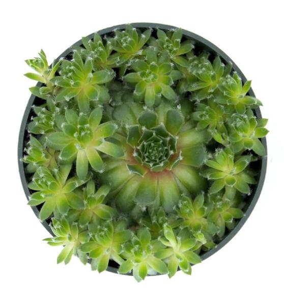Cliquez ici pour acheter Succulente – Sempervivum