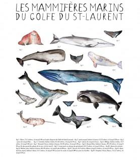 Affiche – Mammifères marins du Golfe du St-Laurent