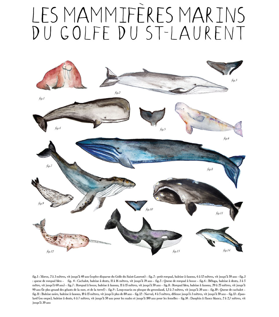 Cliquez ici pour acheter Affiche – Mammifères marins du Golfe du St-Laurent