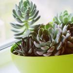 Succulentes variées - Livraison à domicile