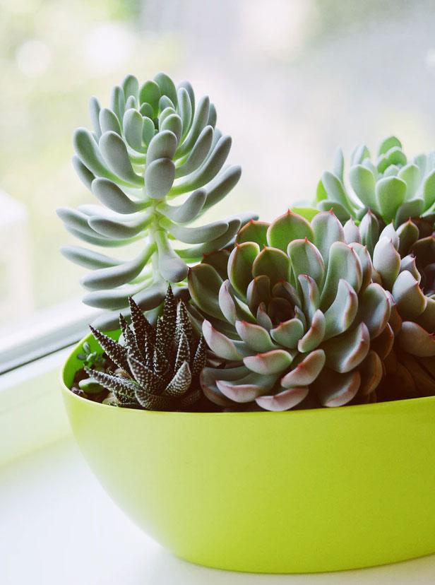 Cliquez ici pour acheter Succulentes variées – Livraison à domicile