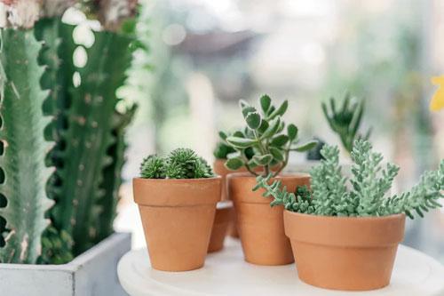 Livraison à domicile! Cactus, succulentes & plantes