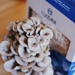 Culture de champignons maison - Pleurotes bleus