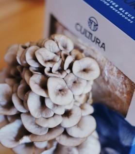 Culture de champignons maison – Pleurotes bleus